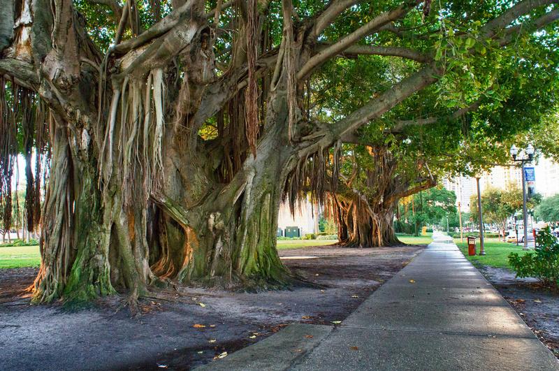 Banyan tree St. Petersburg Florida