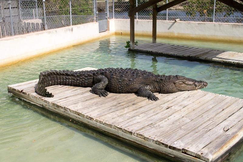 North American Crocodile Florida