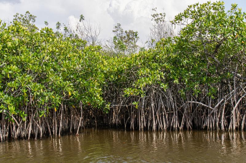 Mangrove Everglades