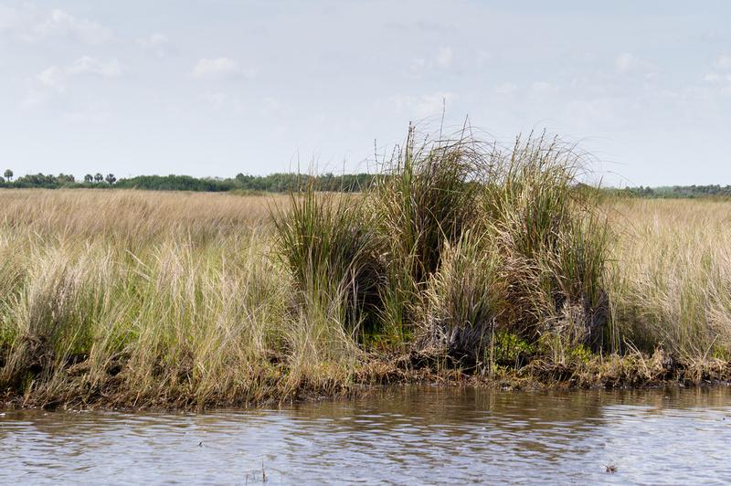Everglades marsh