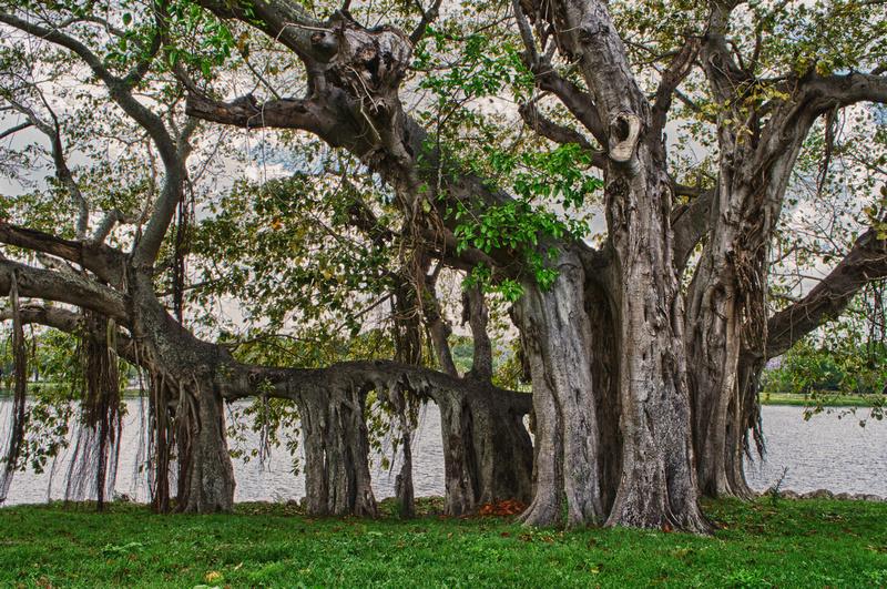 Crescent Park St. Petersburg Banyan Tree